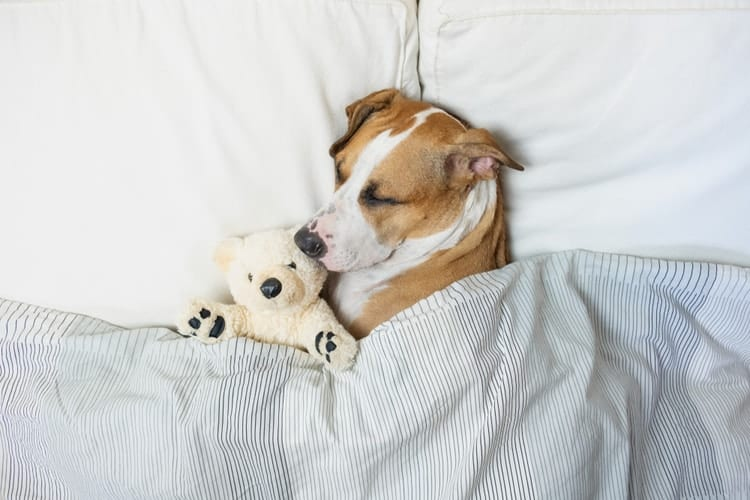 Dog sleeping in bed with teddy bear