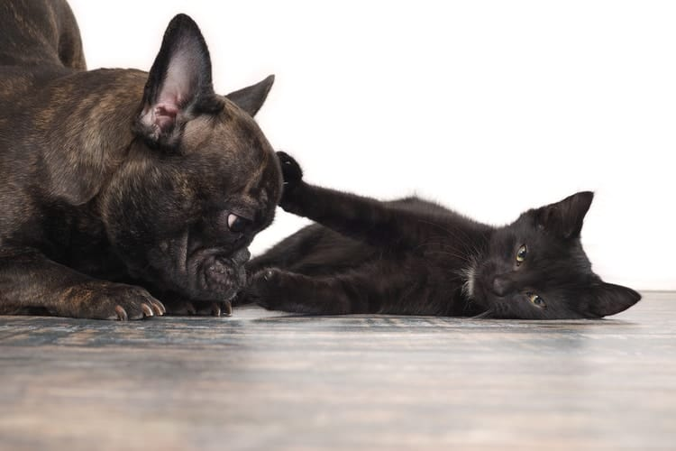 kitten laying on floor pushing about french bulldog with its paw