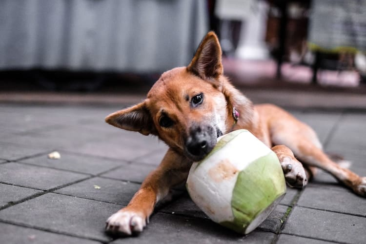 Dog chewing on coconut trying to get coconut water from inside