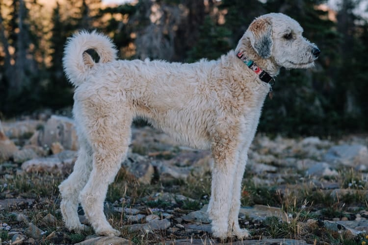 Dog with curly tail looking off into the distance