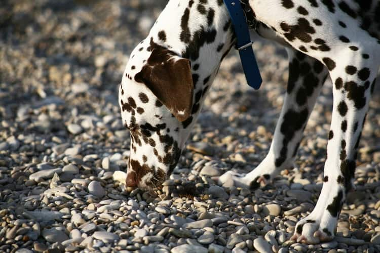 Dalmatian dog sniffing rocks on the ground