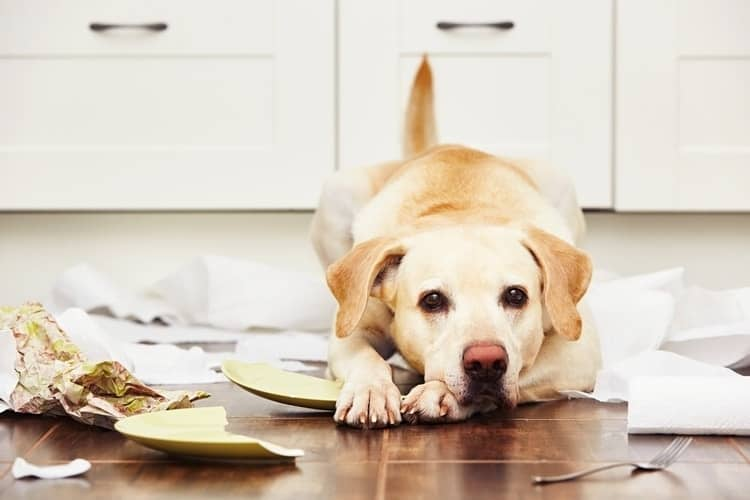 Dog laying on ground looking sorry after eating used garbage and making a mess