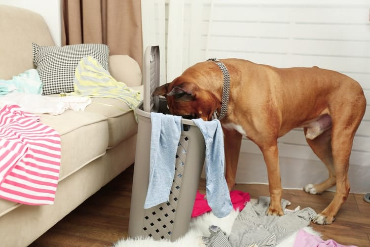 dog with head in laundry basket eating underwear