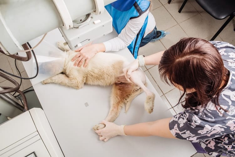 Dog on veterinarian table receiving dog x-rays