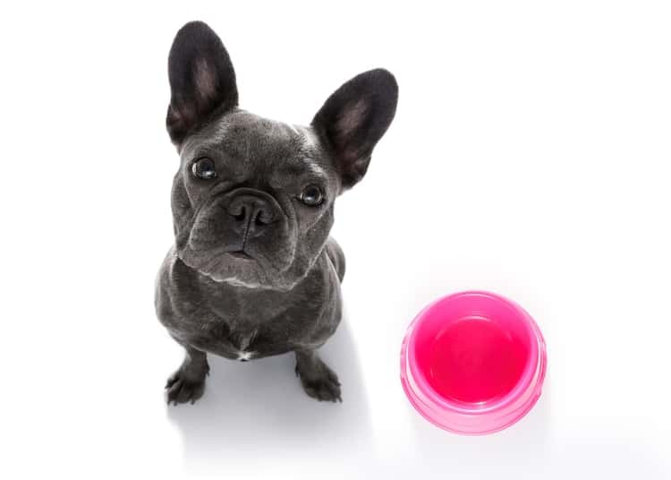 French bulldog looking up towards camera with empty food bowl next to it