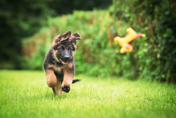 The following are 6 recommended chew toys for German Shepherd Puppy chasing after chew toy on grass
