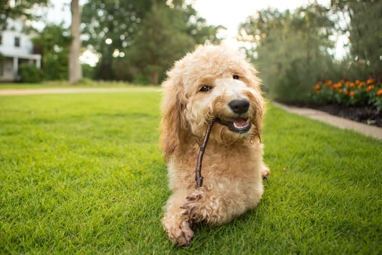Mini Goldendoodles with stick in mouth chewing while laying on grass in front of garden and home