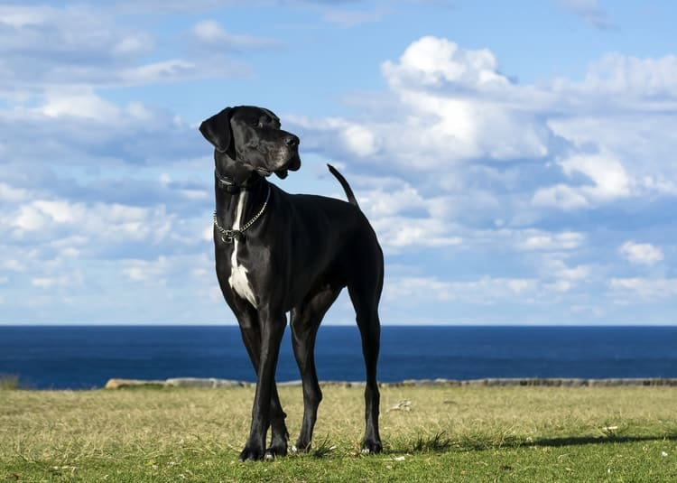 Great Dane standing in field with blue cloudy sky in background