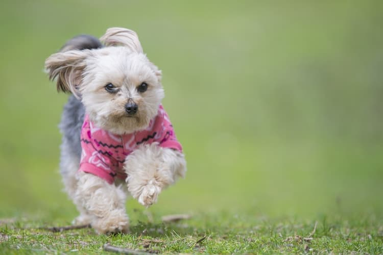Morkie puppy running fast to get home for food