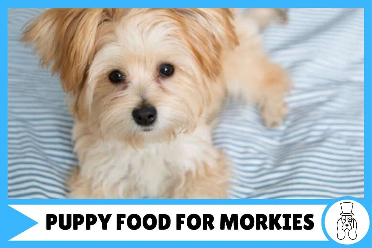 The Best Puppy Foods for Morkies | Top 5