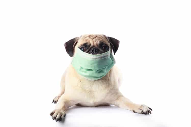 Puppy breath being blocked by surgical mask to symbolize bad breath