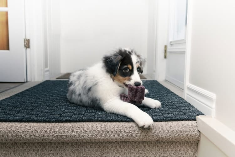 Puppy chewing on sock waiting for treats