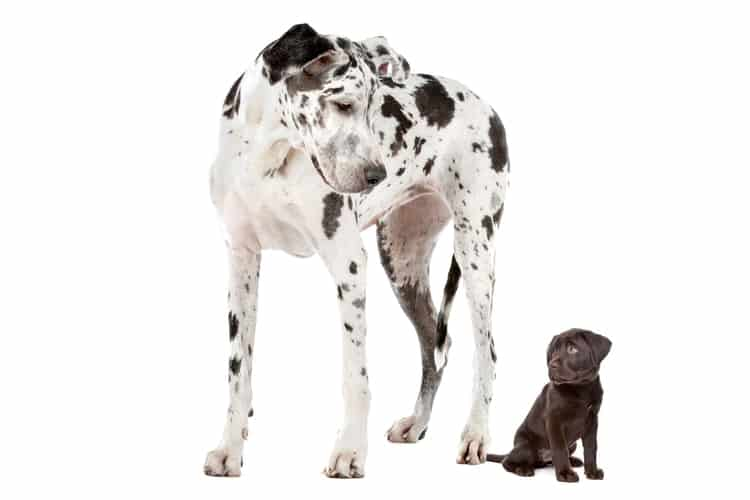 Mixed breed puppy standing next to a dalmatian dog, both looking at each other because of the size difference