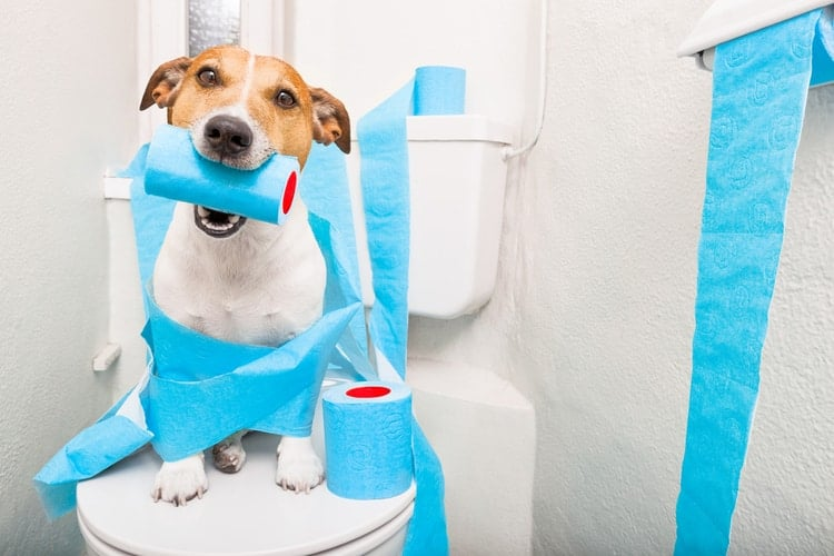 Puppy sitting on toilet waiting to pee with toilet paper in mouth