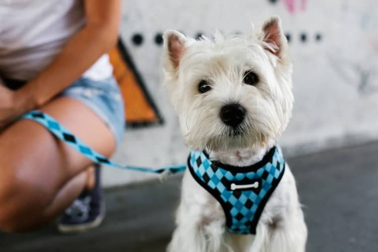 Small dog getting ready for walk with dog harness