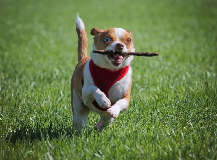 Toy breed dog with harness running in park with stick in mouth