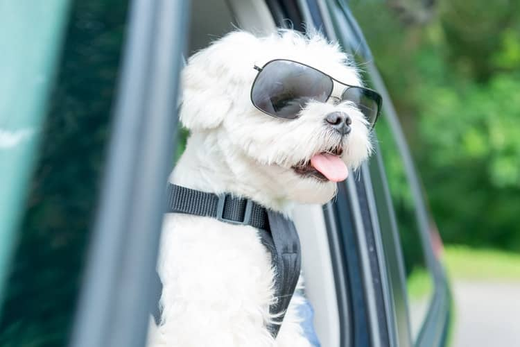 toy breed dog with harness and sun glasses looking out of car window