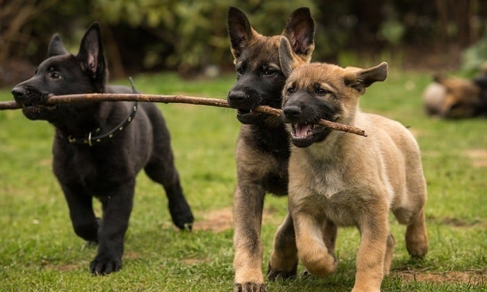 German Shepherd Puppies playing together using sticks as a chew toy