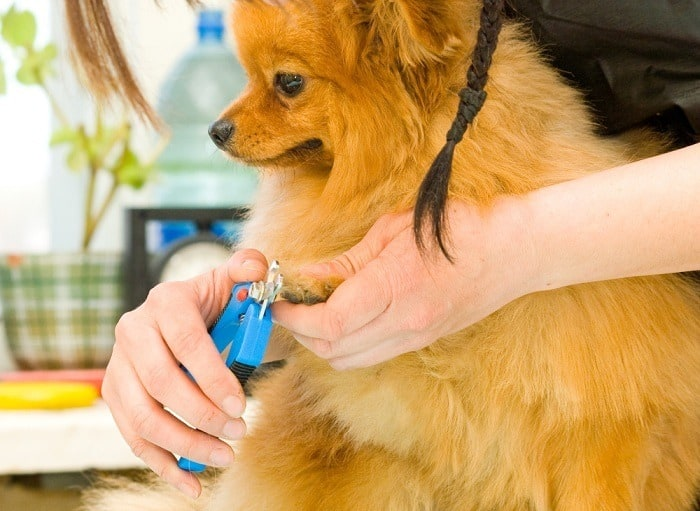 Dog with thick fur getting groomed with dog clippers