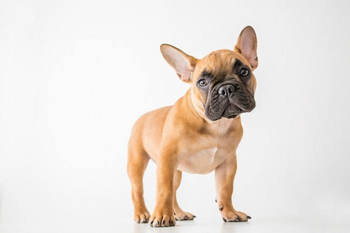 french bulldog standing with heading leaning to side looking at camera with grey backdrop