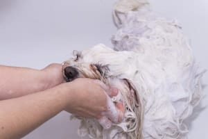 The 5 Best Shampoos for Maltese Dogs