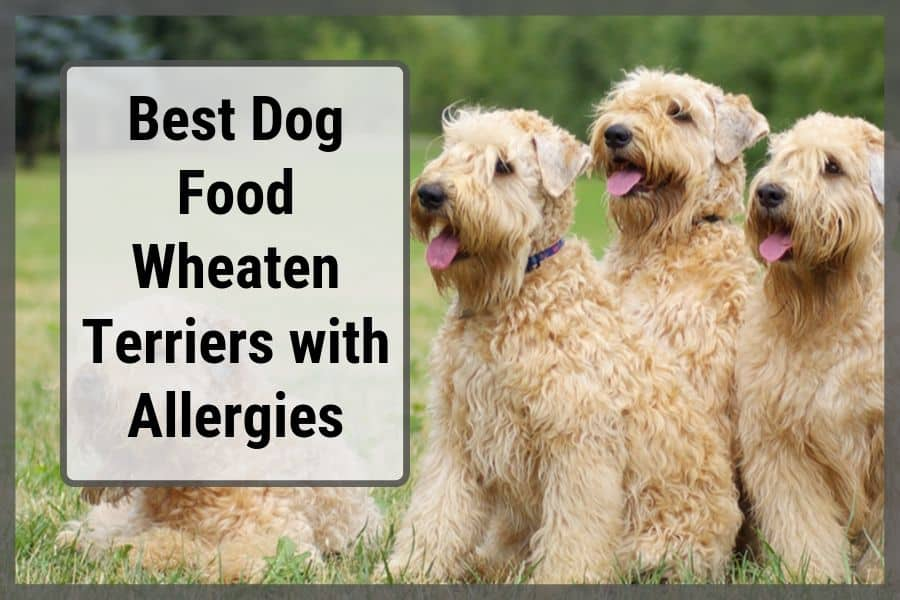 Best Foods for Wheaten Terriers with Allergies