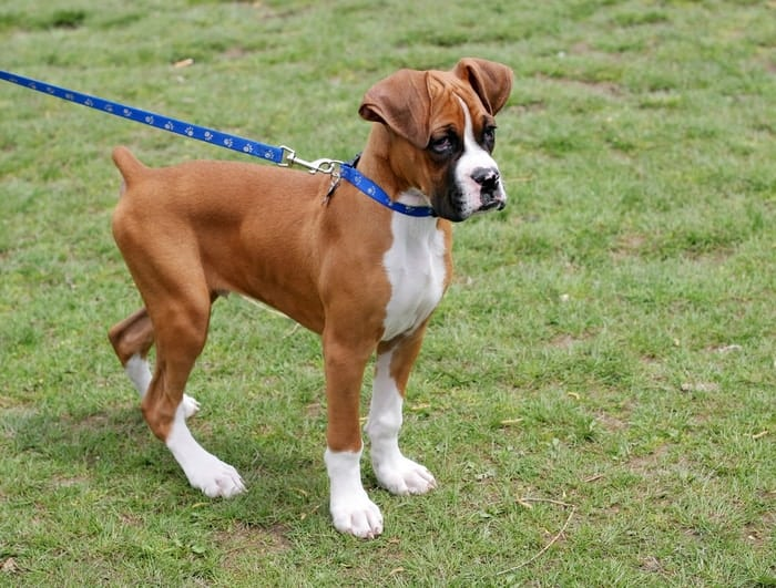 How to Brush a Boxer? | Boxer Brushing Guide