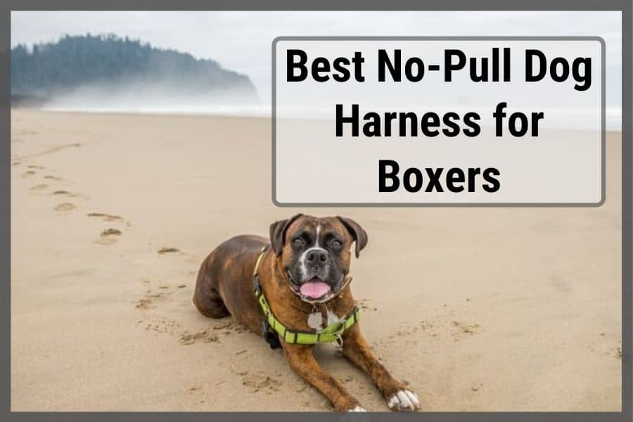 boxer with harness laying on beach having a rest
