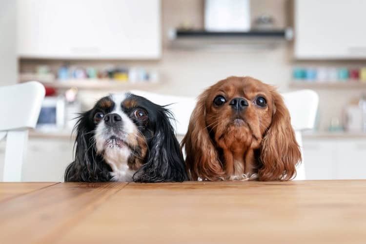 Cavalier King Charles Spaniels waiting at table for their dog food
