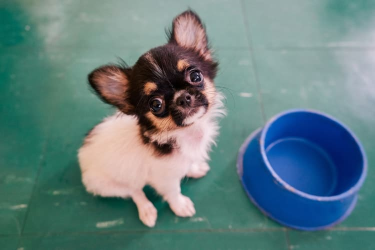 Chihuahua puppy waiting for food in their bowl