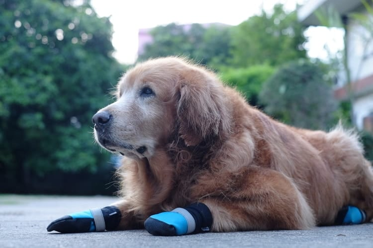 Dog with dog boots taking a break from running on pavement