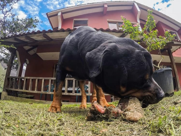 Rottweiler eating food in backyard on the grass