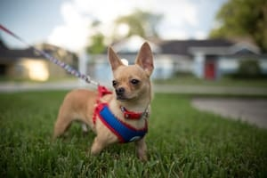 Best Harnesses for Toy Breeds (5 Small and Safe Models)