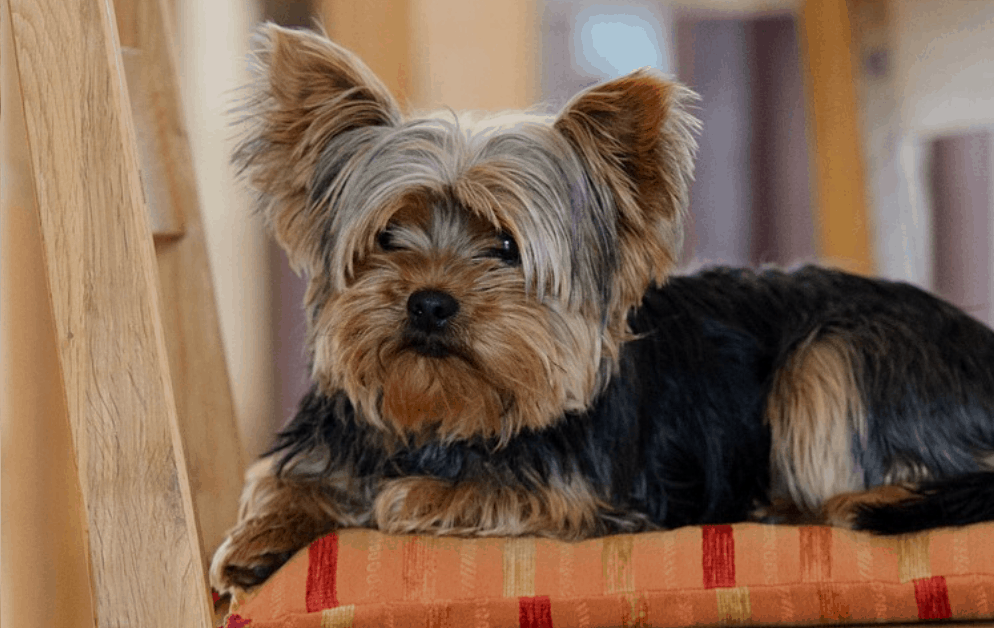 Best Foods for Yorkies with Sensitive Stomachs