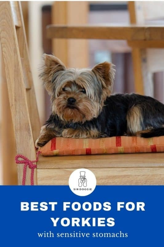 Infographic for Yorkies with sensitive stomachs with a picture of Yorkie sitting on pillow on top of chair