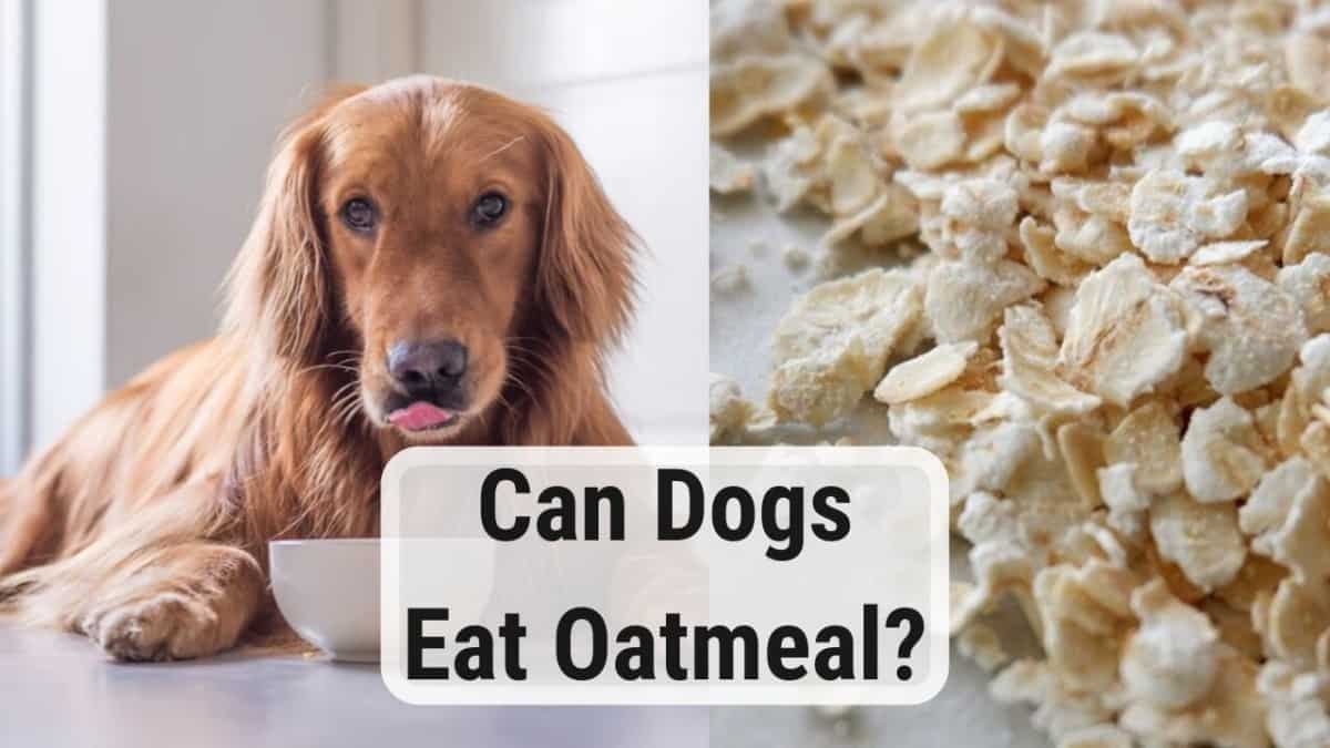 infographic for dogs and eating oatmeal