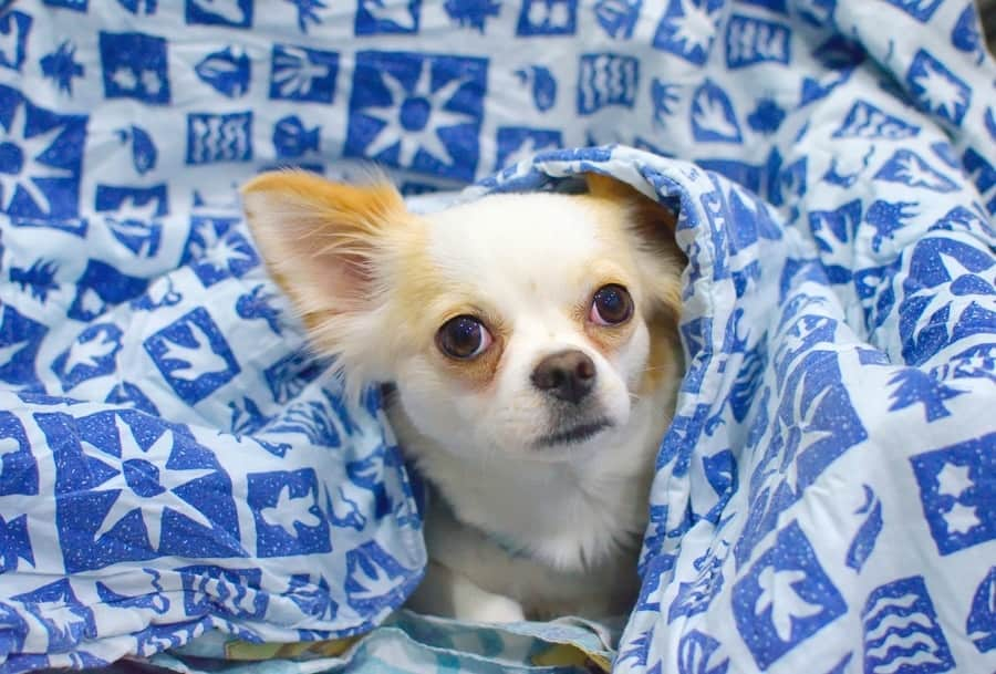 Chihuahua peeking out from under blankets and looking at camera