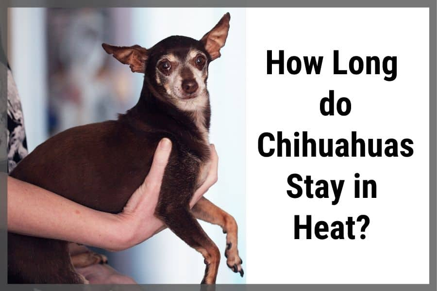 How Long do Chihuahuas Stay in Heat?