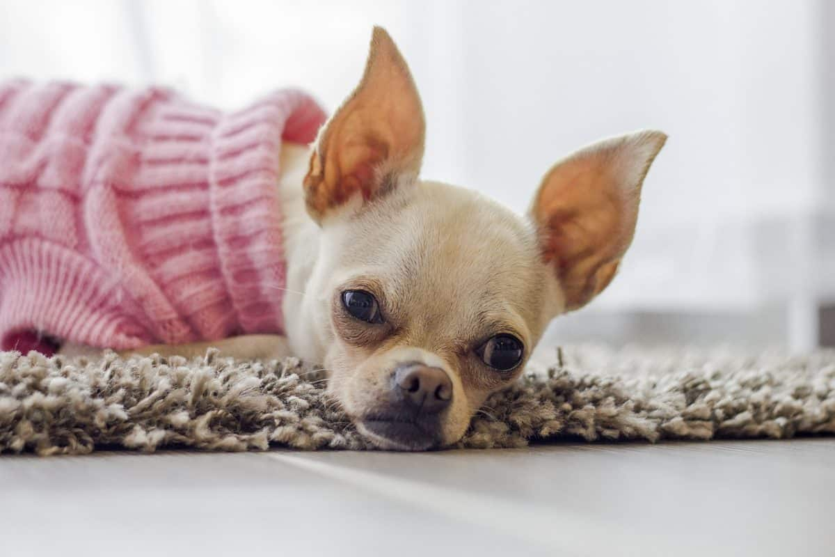 Pregnant female chihuahua laying on ground