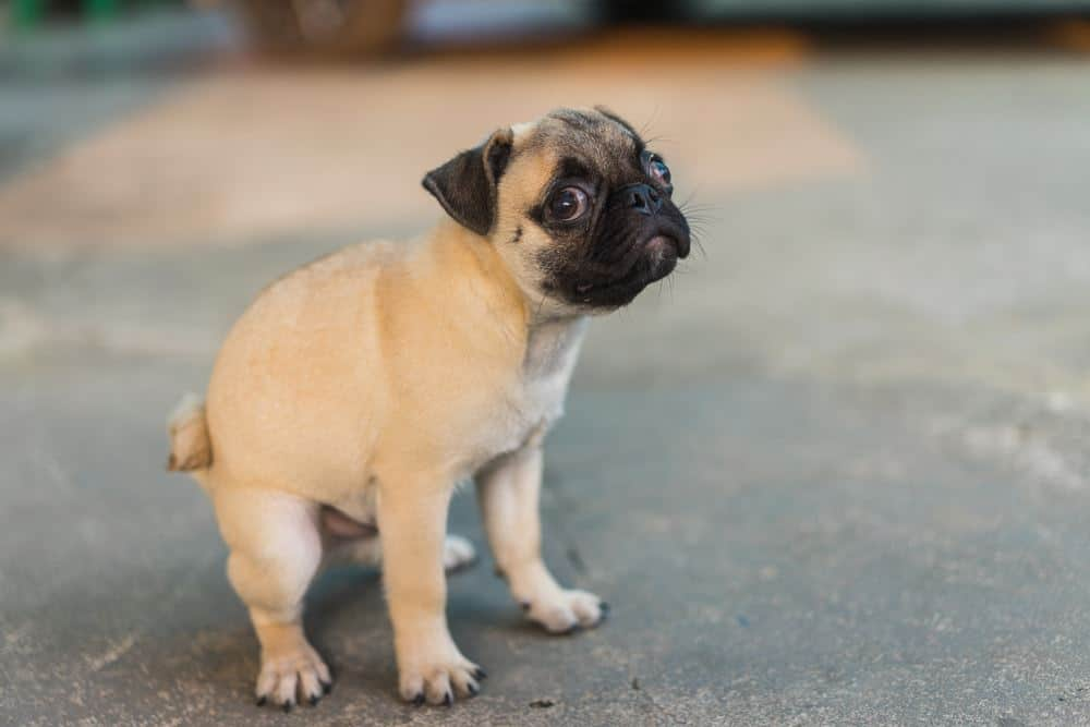 6 TIPS For Potty Training a Pug Puppy