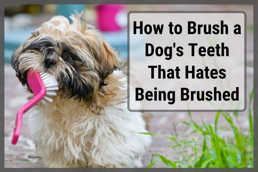 A small dog's teeth being brushed by a large brush