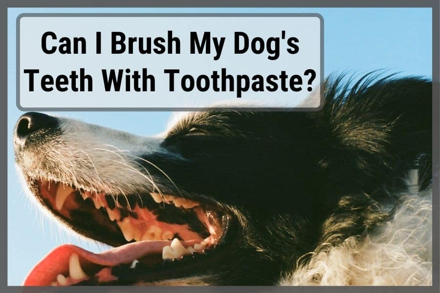 Close up of dog's teeth that are clean from using dog toothpaste