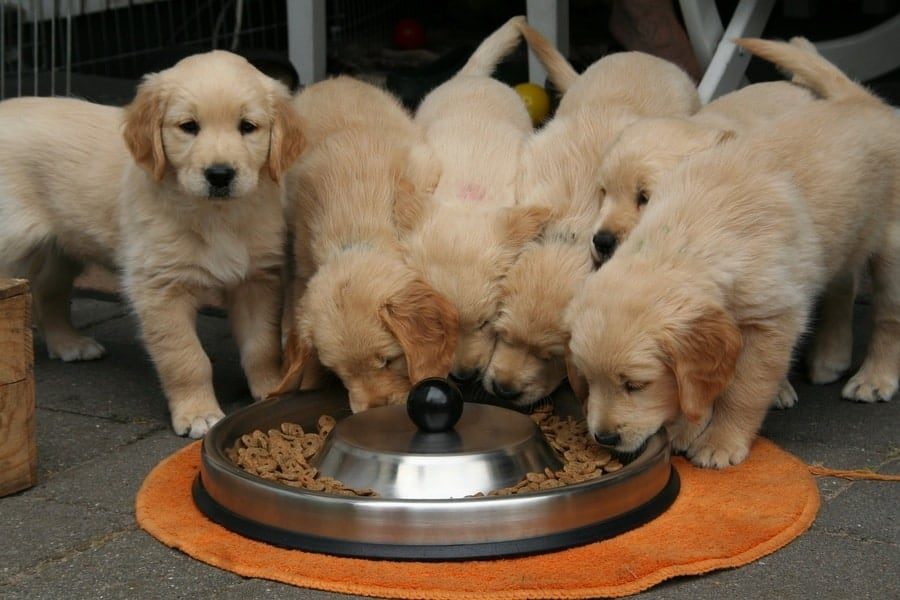 Group of puppies eating kibble from same large bowl