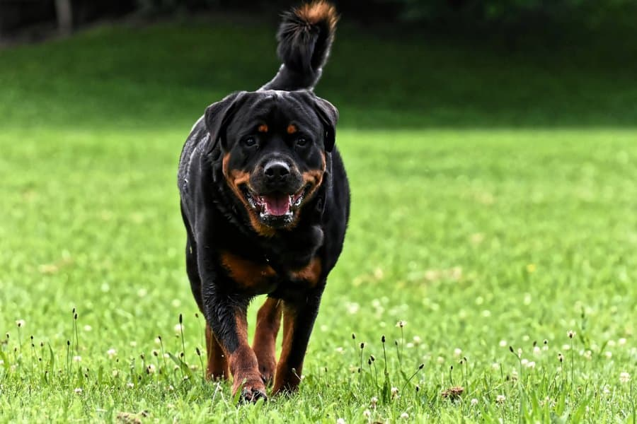 When Do Rottweilers Stop Growing?