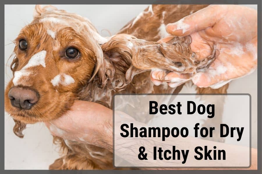 Dog with dry and itchy skin getting shampooed