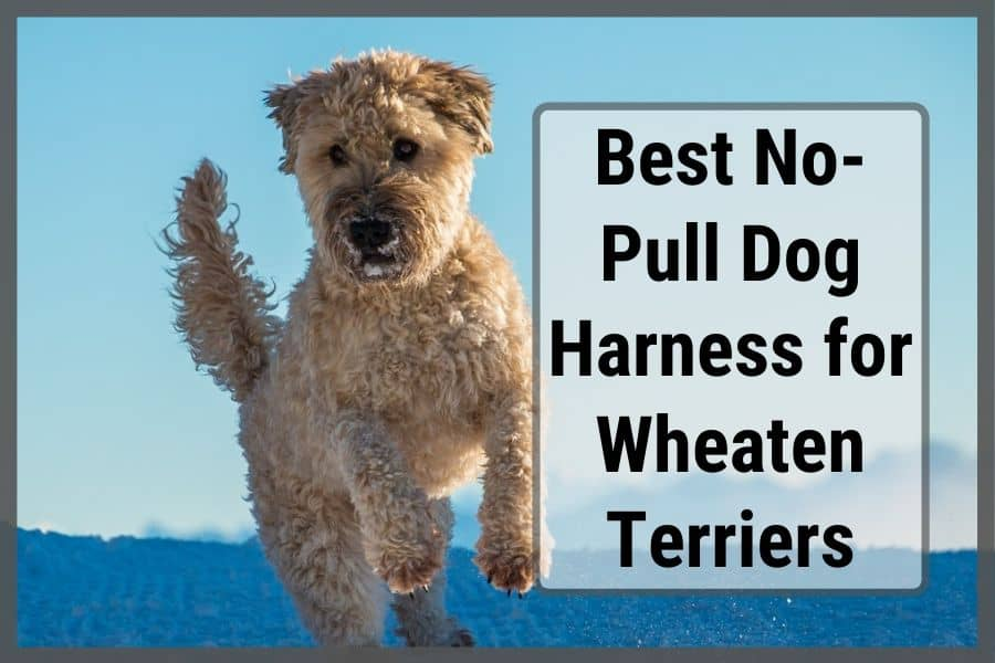 """Wheaten Terrier jumping in snow with text stating """"Best no-pull dog harness for wheaten terriers"""""""