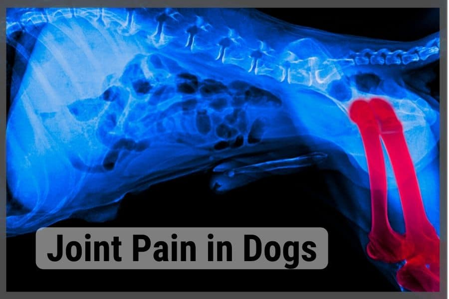 Dog xray showing joint pain in legs and hip area