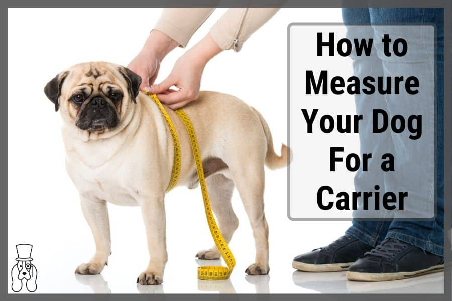 Pug doing being measured for dog carrier