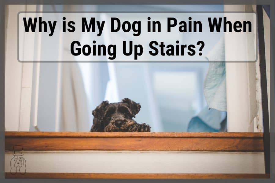 """dog laying at top of stairs with text that states """"Why is my dog in pain when going up stairs?"""""""