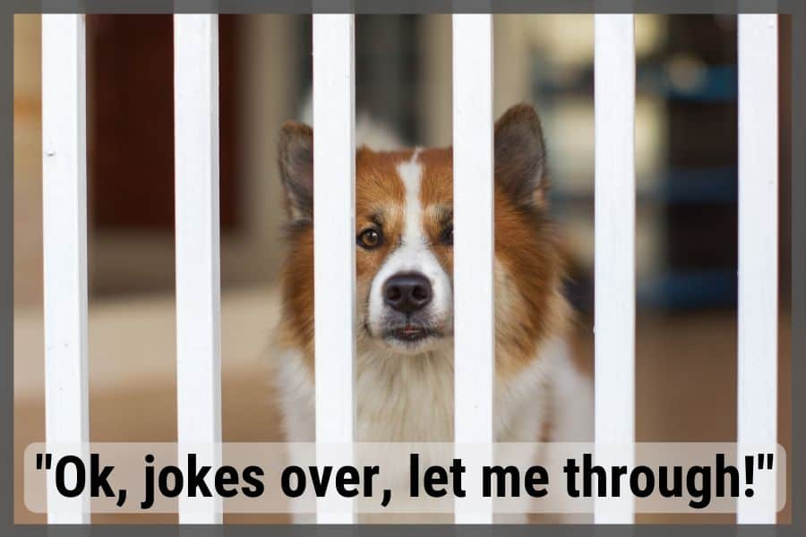 Dog being blocked from stairs looking through bars